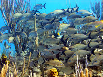 Bright shoal of fish. Snappers and Grunts shoal together for safety and protection in a popular spot early one morning Royalty Free Stock Images
