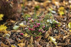 Bright short evergreen shrub of cowberry, Vaccinium among the fallen autumn maple foliage. Evergreen plant. Natural. Bright short evergreen shrub of cowberry stock photography