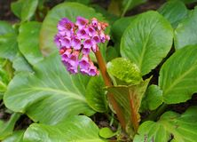 Bright and showy Bergenia crassifolia cone-shaped flowers close up with green leaves  on background. Evergreen plant stock photography