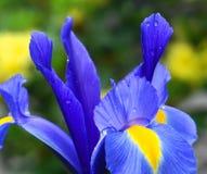 Bright and showy blue Iris latifolia flower close up. English Iris King of the Blues. Spring background stock photos