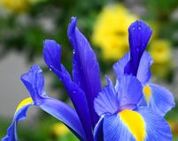 Bright and showy blue Iris latifolia flower close up. English Iris King of the Blues. Spring background royalty free stock photography