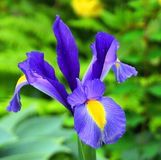 Bright and showy blue Iris latifolia flower close up. English Iris King of the Blues. Spring background royalty free stock image