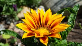 Bright and showy Gazania flower with impressive bicolor blooms of orange and yellow in the morning sun close up. Native to Southern Africa stock photos