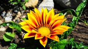 Bright and showy Gazania flower with impressive bicolor blooms of orange and yellow in the morning sun close up. Native to Southern Africa stock images