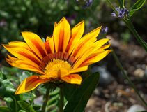 Bright and showy Gazania flower with impressive bicolor blooms of orange and yellow in the morning sun close up. Native to Southern Africa stock photography