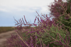 Bright shrub blooms in the desert. Flowering tamarisk in the steppes of Kazakhstan Stock Photo