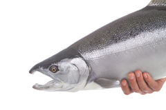 Bright silver Coho salmon isolated on white. Background Stock Photo