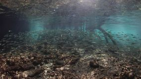School of Silversides and Mangrove in Raja Ampat. Bright silversides swim in the shallows at the edge of a blue water mangrove in Raja Ampat, Indonesia. This stock footage