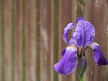 Blue iris flower in the right corner against the fence in the garden royalty free stock photos