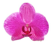 Bright single isolated orchid flower Stock Images