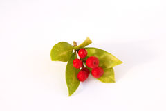 Bright Skimmia berries Royalty Free Stock Images
