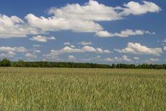 Bright Sky, Bright Field. Bright sky (few clouds) - organic field (wheat) - trees on horizon Stock Image