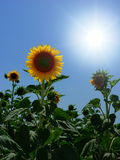 Bright sky over sunflowers. A bright sun on a blue sky over a field of sunflowers (Helianthus annuus royalty free stock photography
