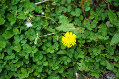 Bright small ground cover yellow flower blooming among green leaves in Kurokawa onsen town Stock Images