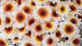 Bright small and vibrant Korean chrysanthemum flowers, white petals and yellow red center, top view, background. Korean chrysanthemum flowers, white petals and Royalty Free Stock Photo