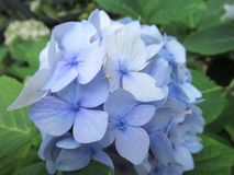 Bright soft blue color garden hydrangea flower close up stock image