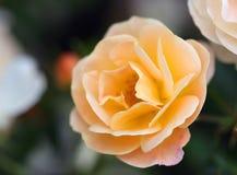 The bright soft rose macro shot Stock Image