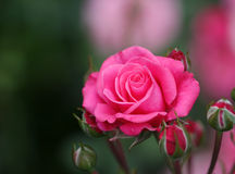 The bright soft rose macro shot Stock Images