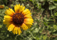 Bright solar flower on green background Royalty Free Stock Photos