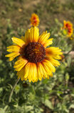 Bright solar flower on green background Royalty Free Stock Images