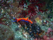Bright Spanish Shawl Nudibranch. Bright Purple Spanish Shawl Nudibranch found off of central California's Channel Islands royalty free stock photo
