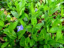 Bright spring background of green stems with leaves and blue periwinkle flowers. Young vinca sprouts cover the ground strewn with yellow last year`s dry leaves Stock Images