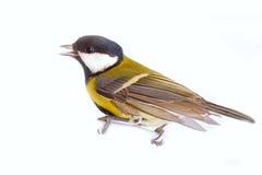 Bright spring bird one animal  great tit Royalty Free Stock Image