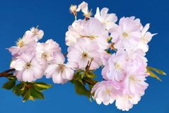 Japanese cherry blossoms Stock Photos