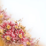Bright spring chrysanthemum, floral Stock Images
