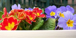 Bright Spring flowers. Bright, potted Spring garden flowers royalty free stock photo