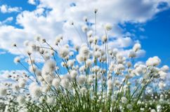 Arctic cotton on the sky background. Bright spring landscape with arctic cotton on the sky background Royalty Free Stock Photography
