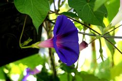 Bright Spring Morning Glory. Nice to see such a bright flower after such a long white winter Royalty Free Stock Photo