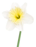 Bright spring narcissus Royalty Free Stock Photos