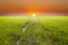 Bright spring with rice field and sunset background  Royalty Free Stock Photo