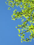 Bright spring sky with green leaves Royalty Free Stock Photography