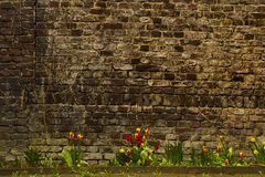 Bright spring tulips against the old brick wall background. Close up of cheerful tulips in the bright color of red, some already open to Springtime sunshine Royalty Free Stock Photos