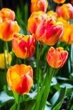 Bright spring tulips Stock Photos
