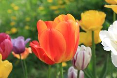 Bright spring tulips of different colors royalty free stock photography