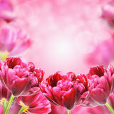 Bright Spring Tulips Flowers, Floral Background Royalty Free Stock Images