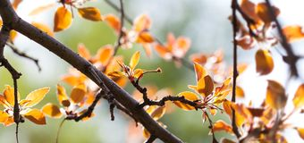 Bright springtime nature poster. Fresh red leaves apple tree branch spring landscape. Selective focus, beautiful bokeh. royalty free stock images