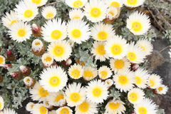 Straw flowers white yellow Stock Image