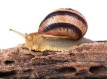 Bright striped snail Stock Photo