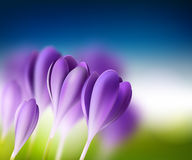 Bright summer background with crocuses Stock Images