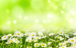 Bright summer background. Bright natural background with white daisies Stock Image