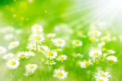 Bright summer background. With white daisies Royalty Free Stock Photo
