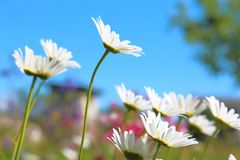 Bright summer blue background. Chamomile flowers against the sky Stock Photo