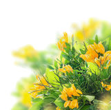 Bright summer bunch with yellow freesias, isolated Stock Photos