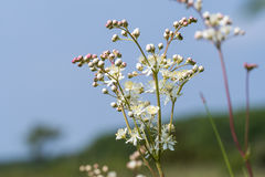 Bright summer flower close up. Bright blossom summer flower - dropwort - close up by a blue sky Stock Image