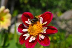 Bright summer flower with an insect on it. Macro royalty free stock photography