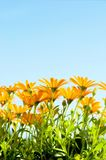Bright summer flowers. Orange daisy flowers in bright sunlight Royalty Free Stock Photography